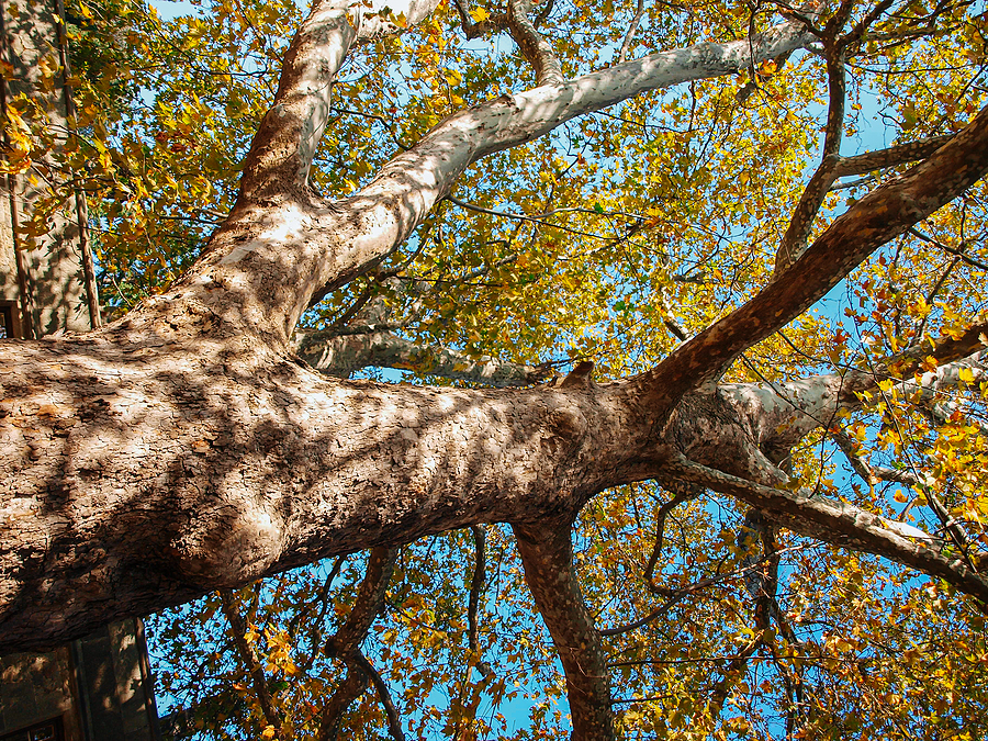 Indianapolis Sycamore Tree Removal 317-348-0811
